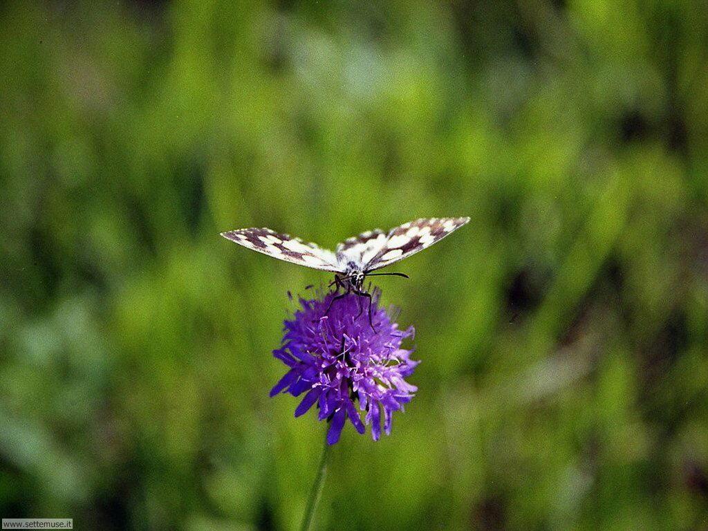 Foto di Farfalle 063