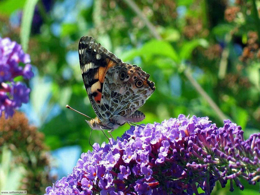 Foto di Farfalle 064
