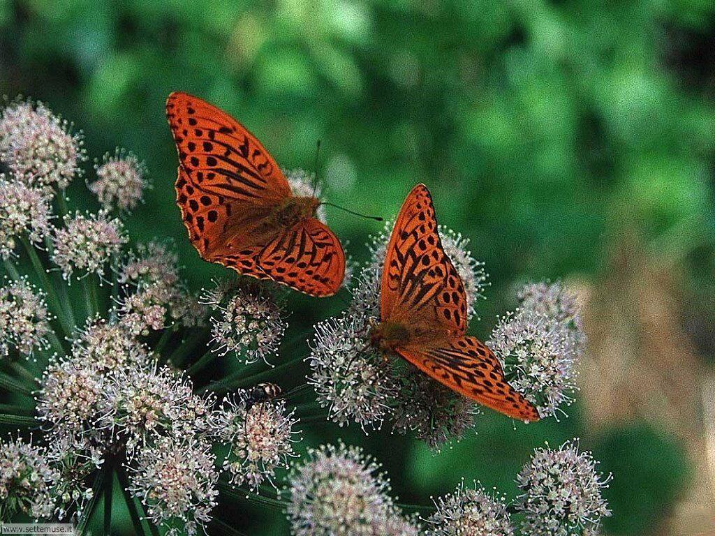 Foto di Farfalle 065