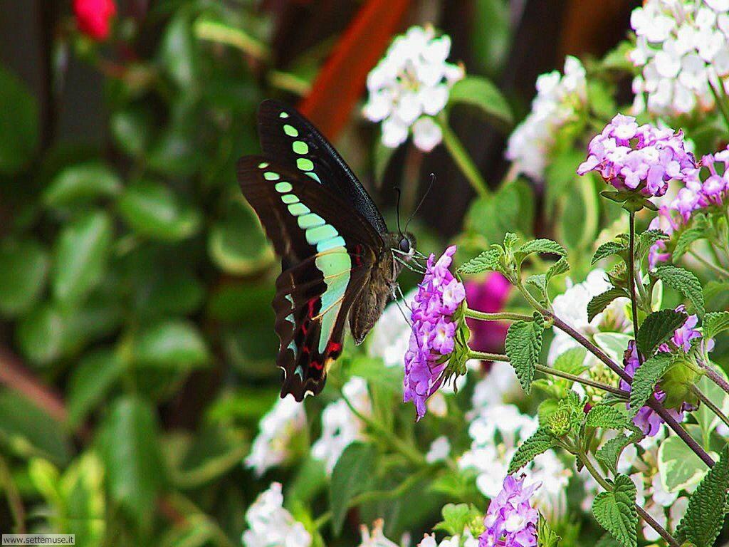 Foto di Farfalle 069