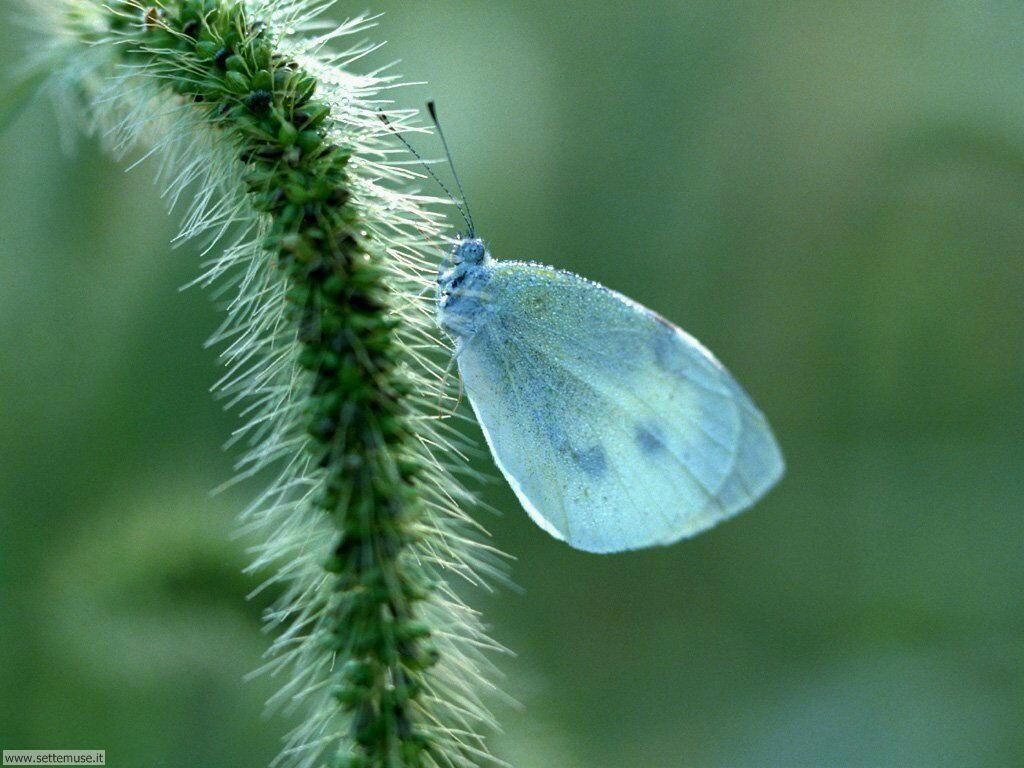 Foto di Farfalle 072