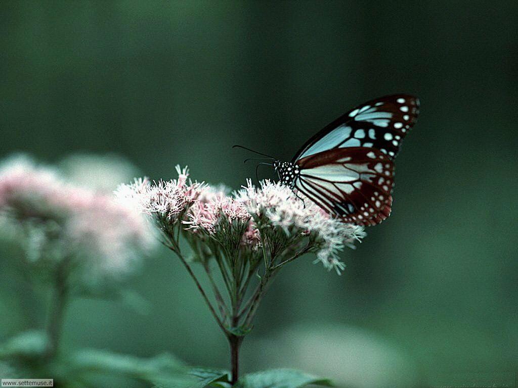 Foto di Farfalle 073