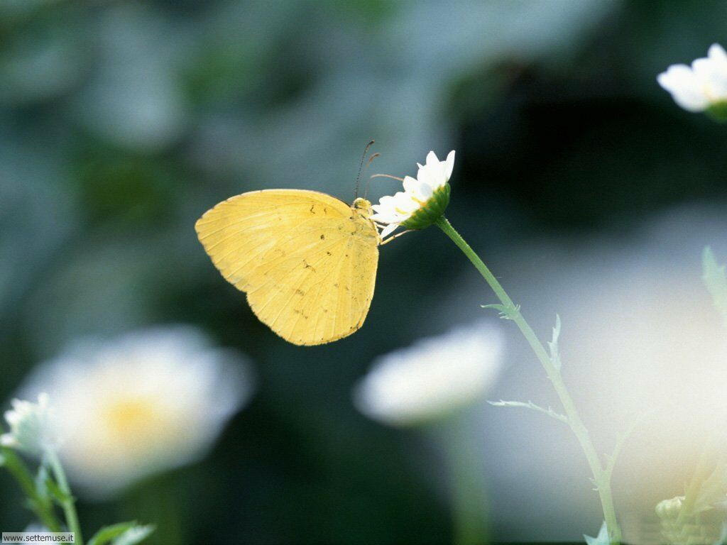 Foto di Farfalle 074