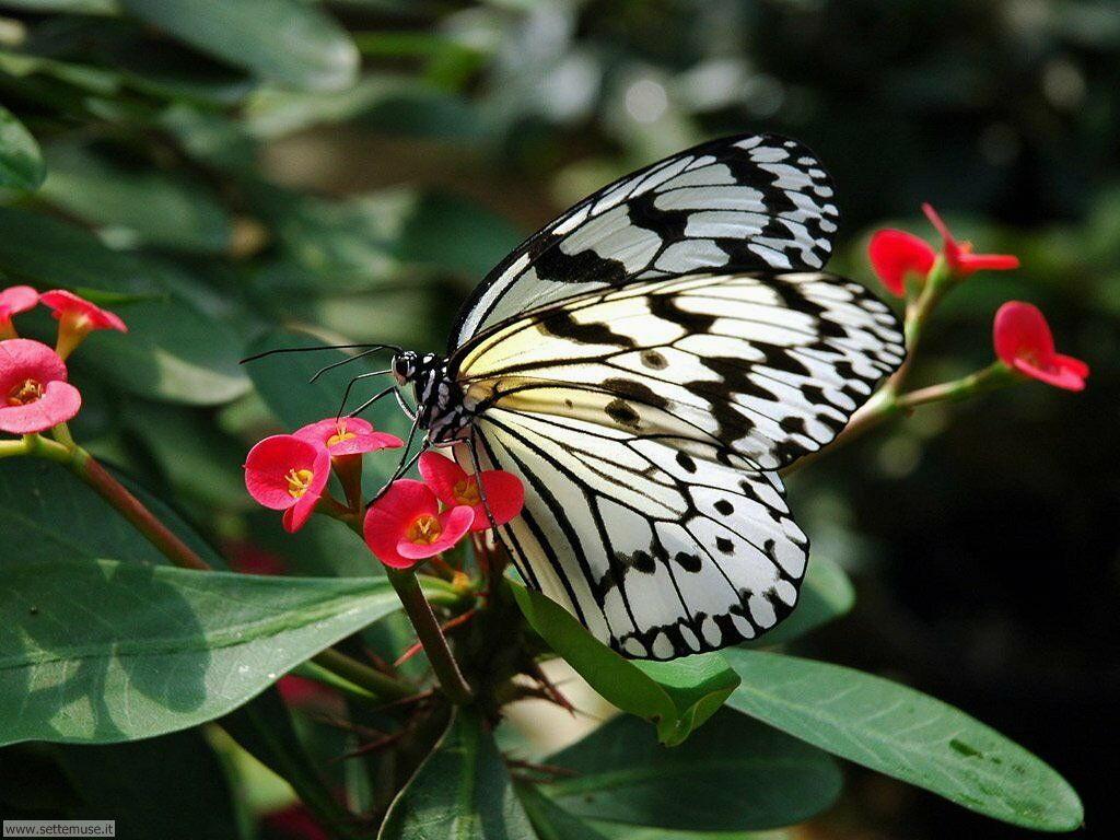 Foto di Farfalle 075