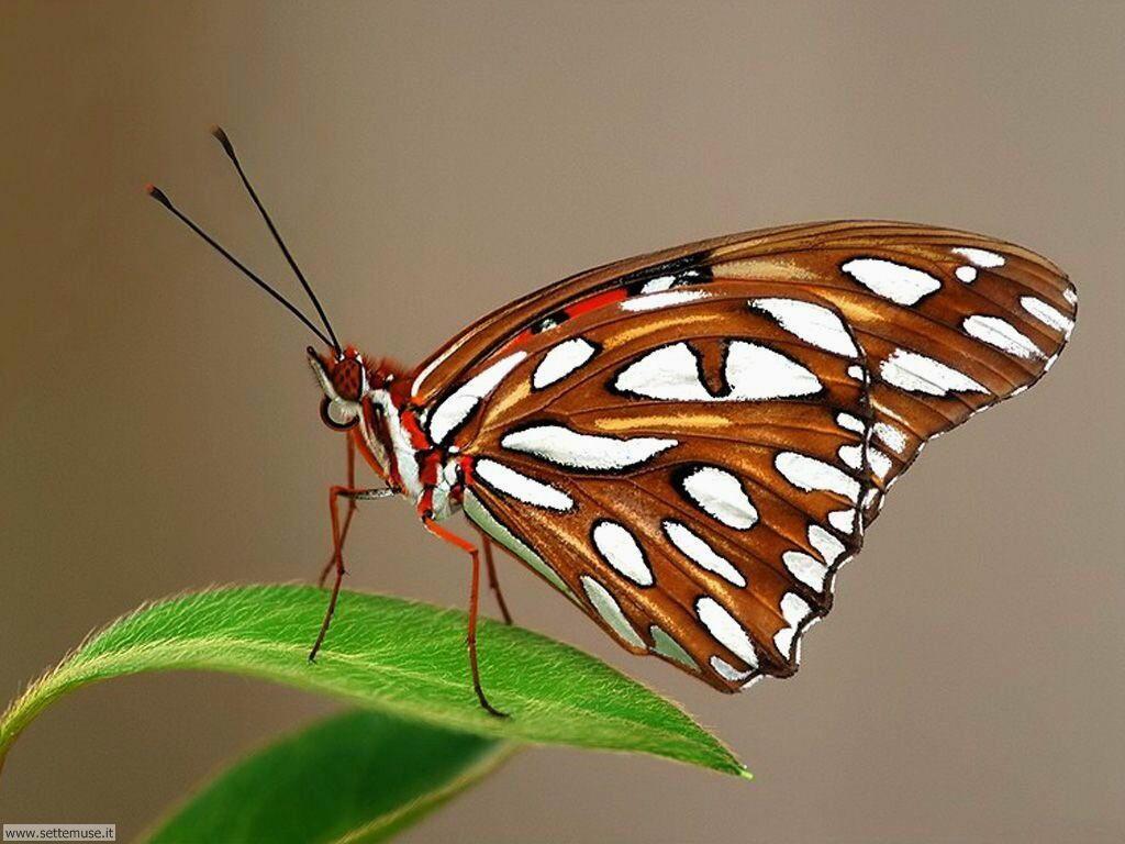 Foto di Farfalle 078