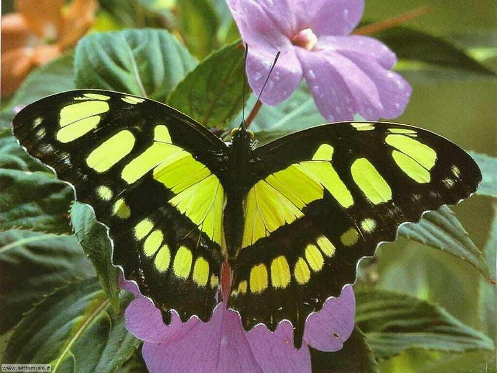 Foto di Farfalle 079