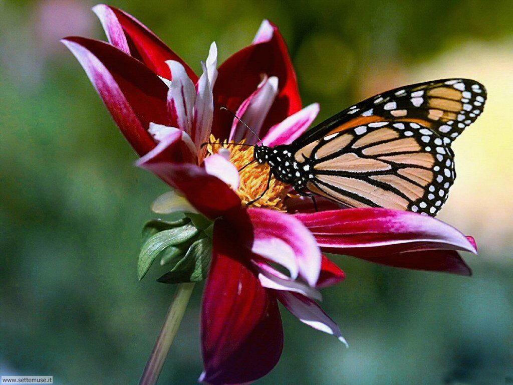 Foto di Farfalle 080
