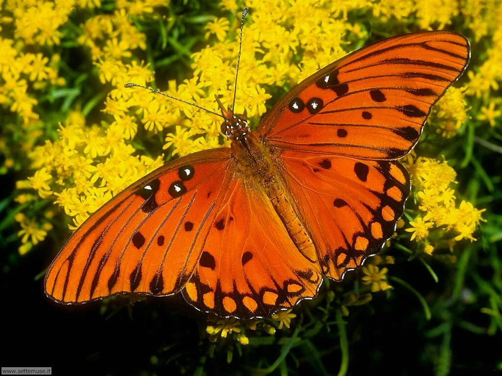 Foto di Farfalle 081