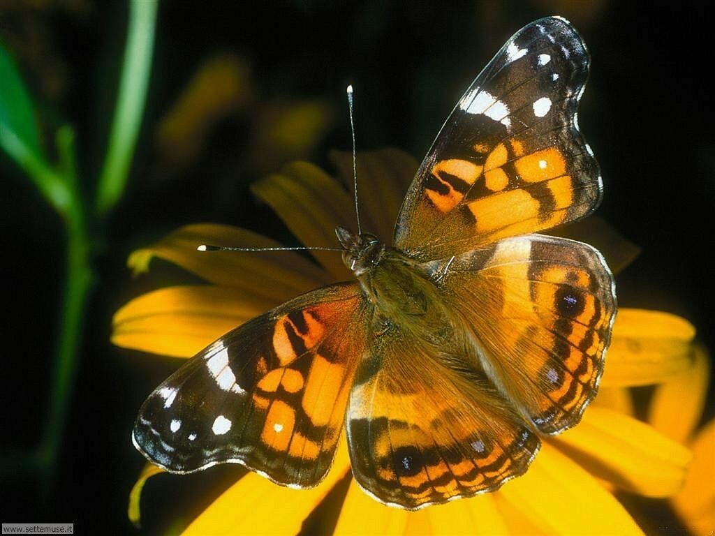 Foto di Farfalle 082