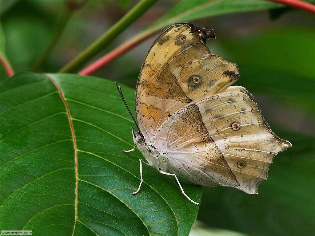Foto di Farfalle 085