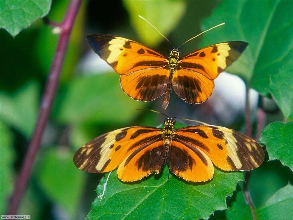 Foto di Farfalle 088