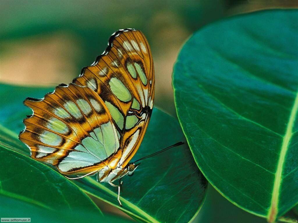 Foto di Farfalle 091