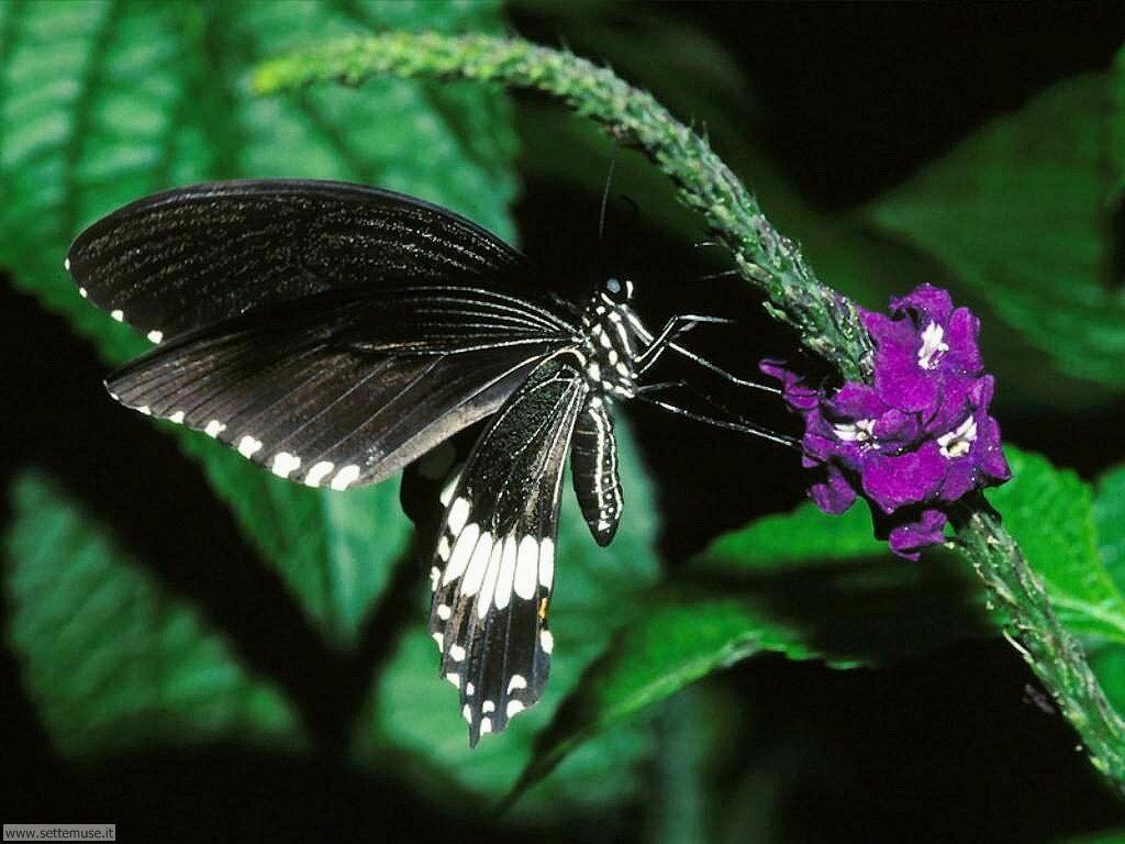Foto di Farfalle 092