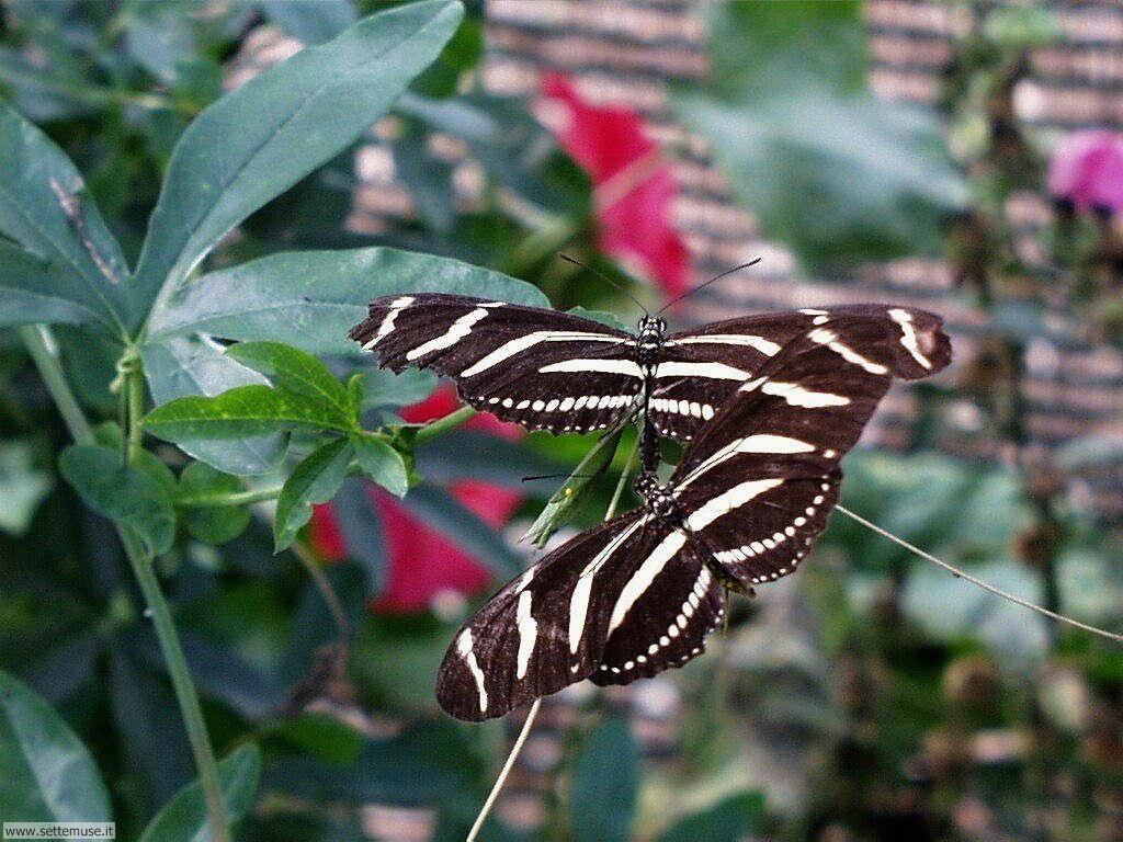 foto di farfalle pagina 2 per sfondi