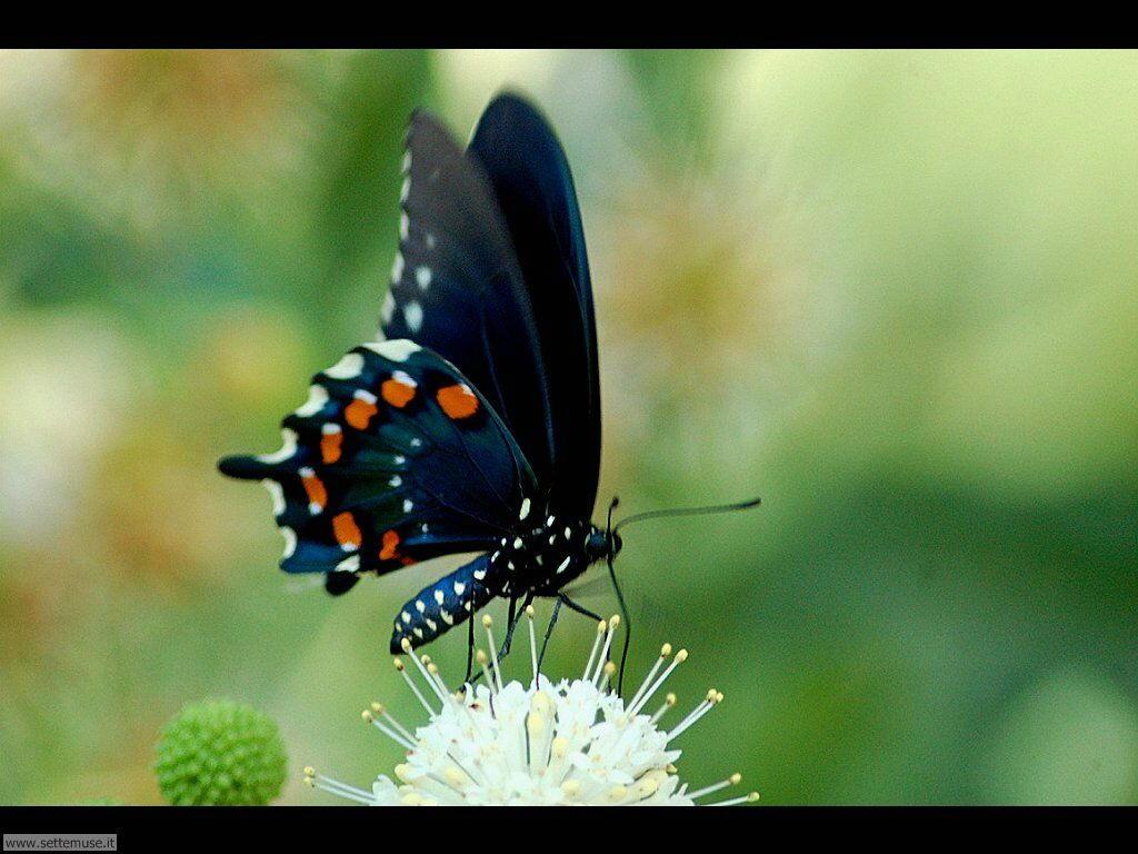 Foto farfalle wallpapers 2 for Sfondi con farfalle