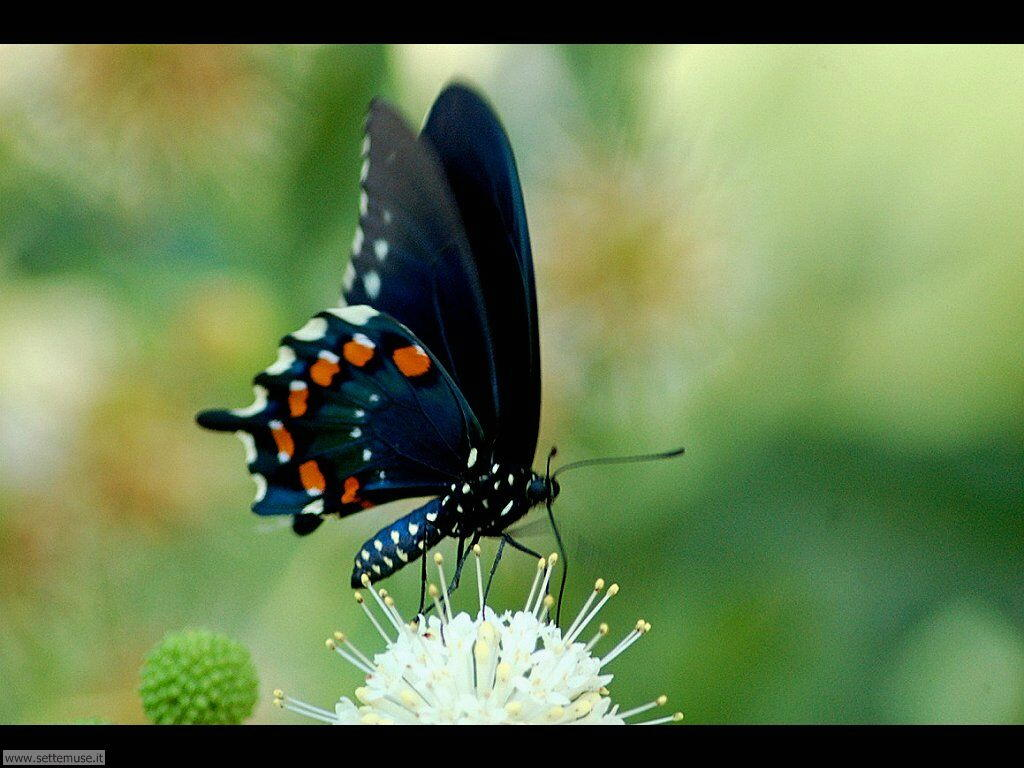 Foto di Farfalle 2-034