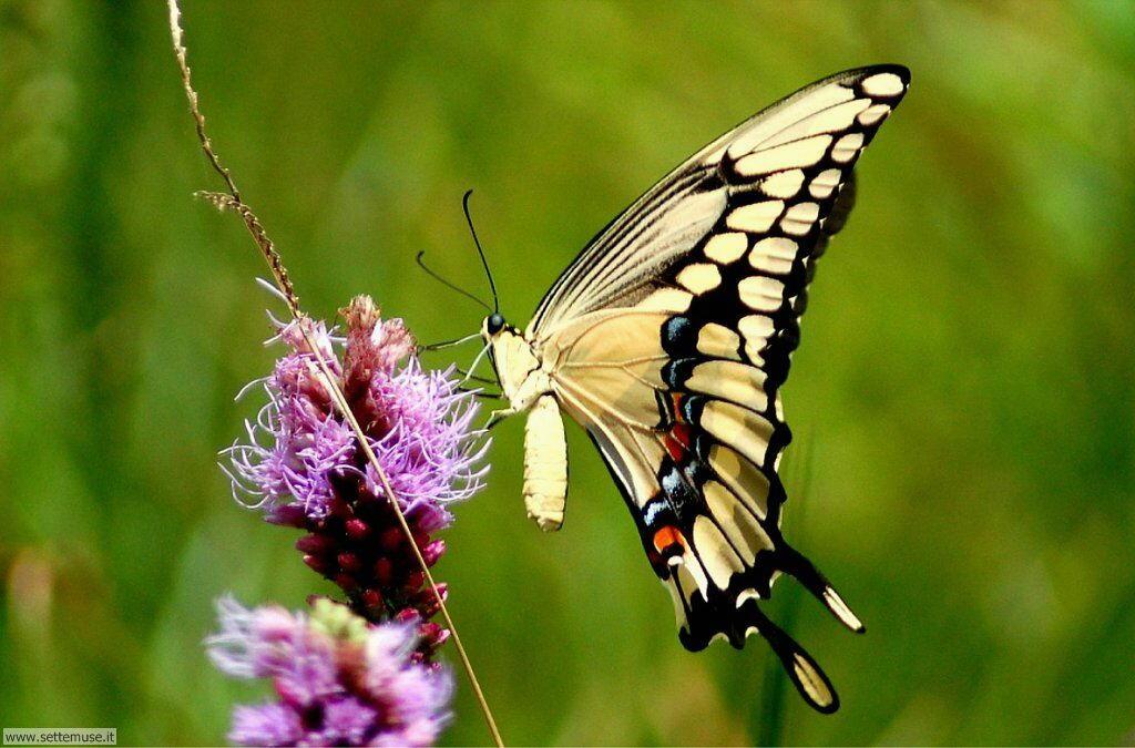 Foto di Farfalle 2-043