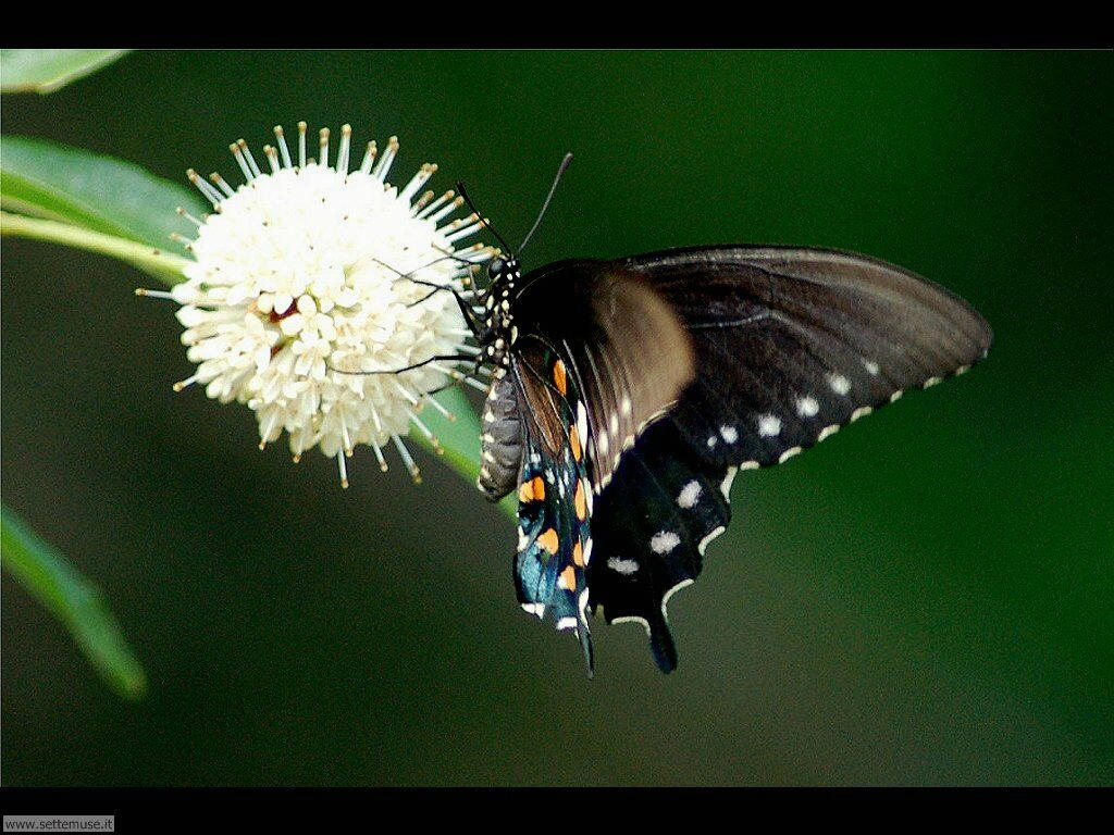 Foto di Farfalle 2-044