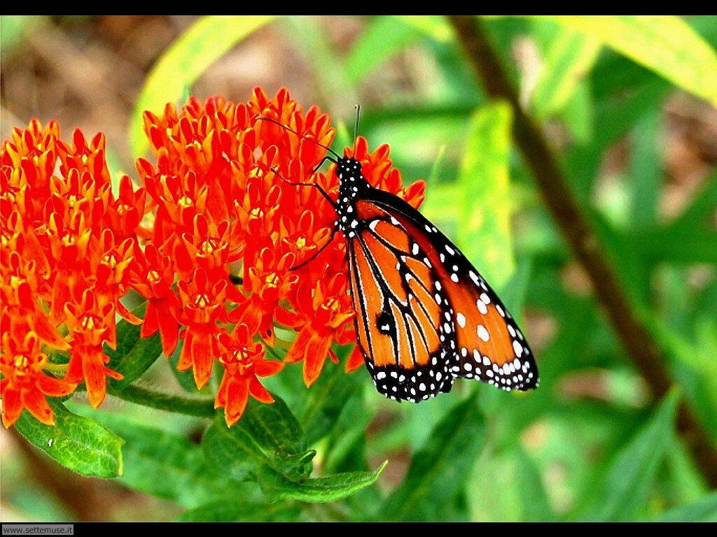 Foto di Farfalle 2-050