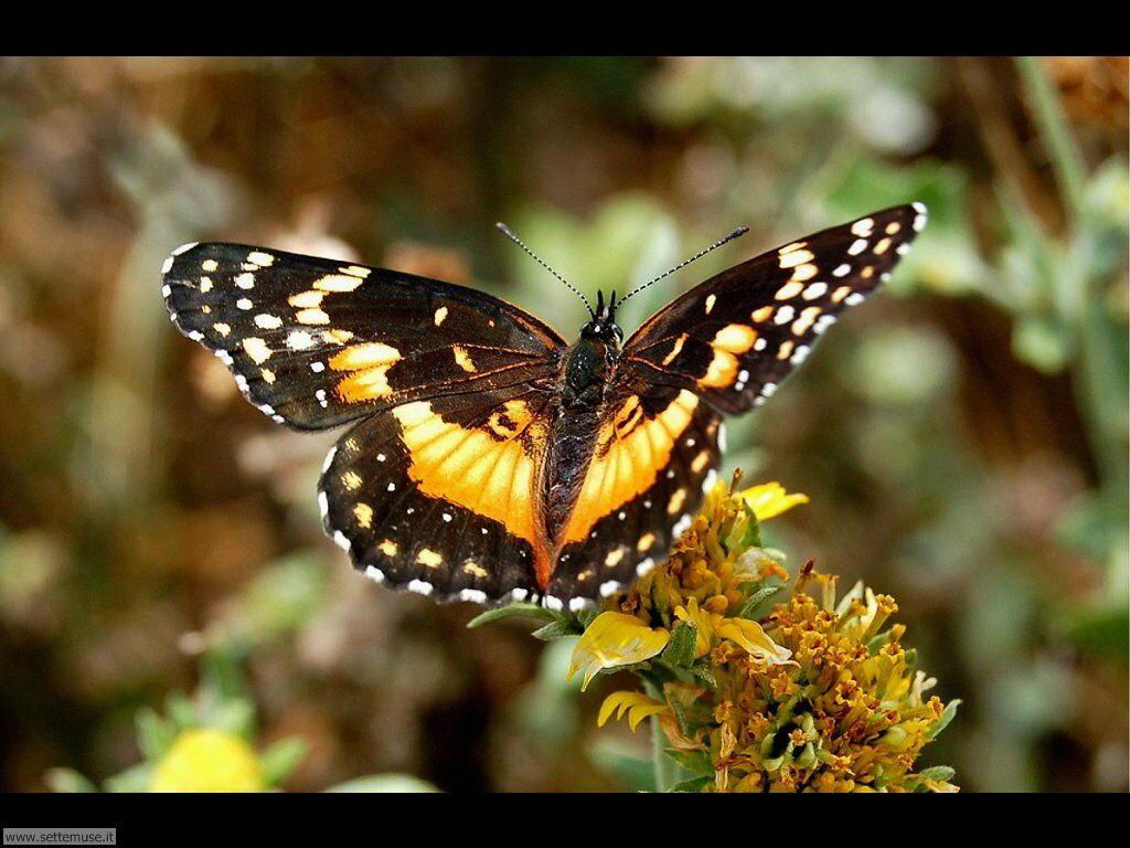 Foto di Farfalle 2-057