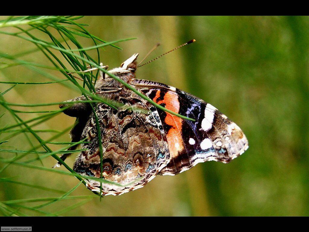 Foto di Farfalle 2-063