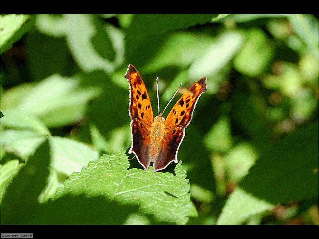 Foto di Farfalle 2-065