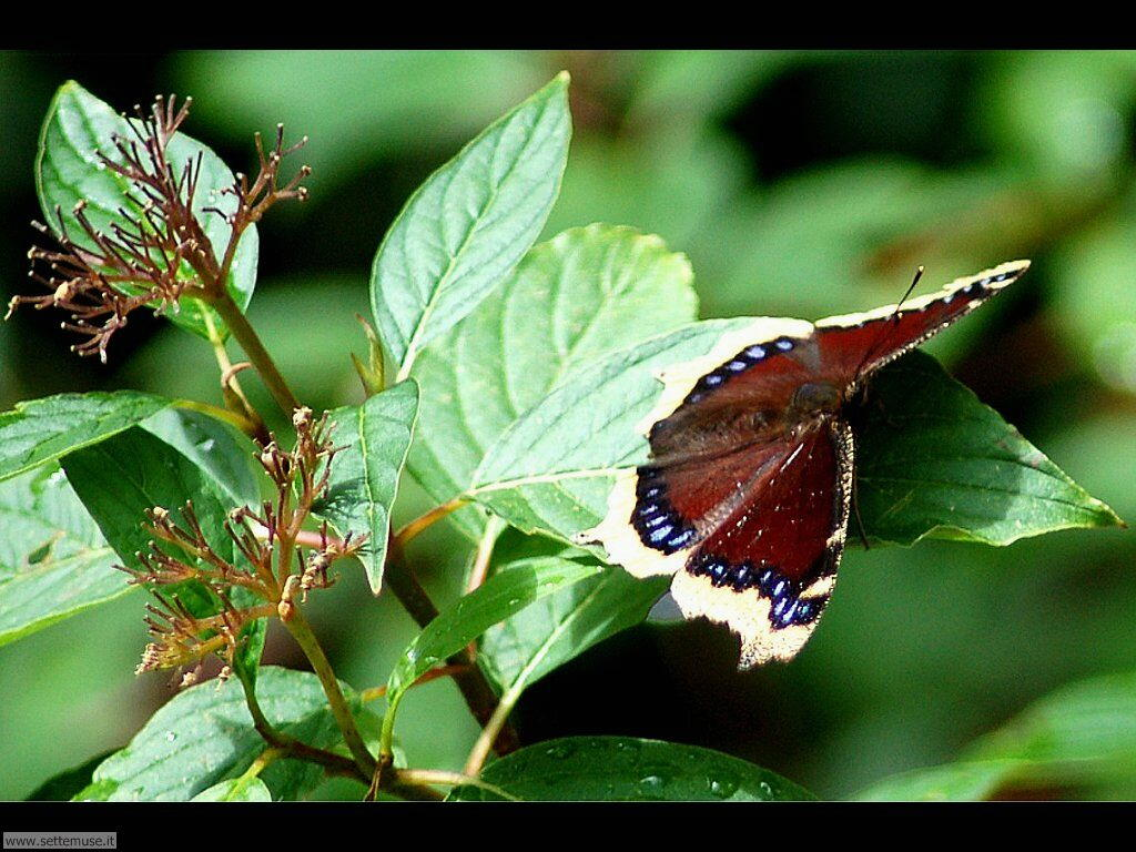 Foto di Farfalle 2-066