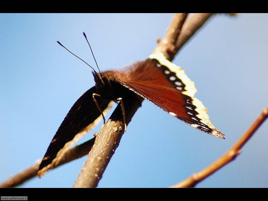 Foto di Farfalle 2-067