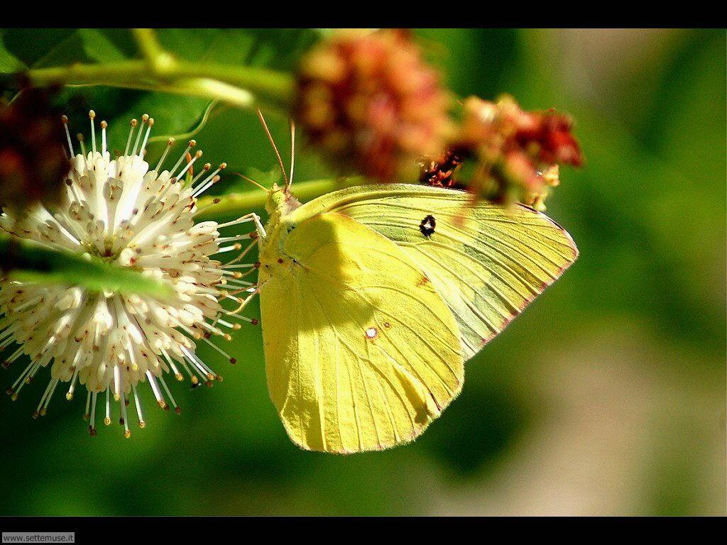 Foto di Farfalle 2-073