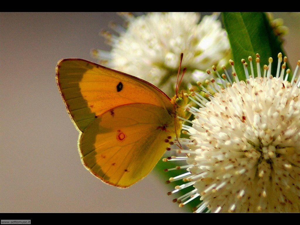 Foto di Farfalle 2-076