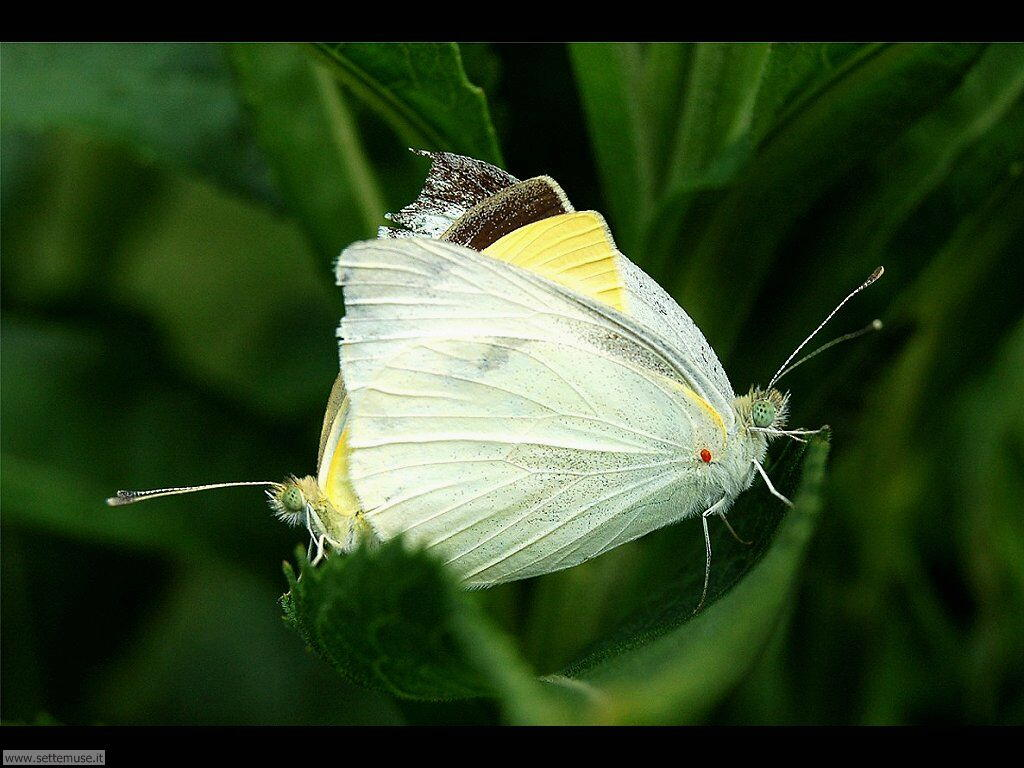 Foto di Farfalle 2-077