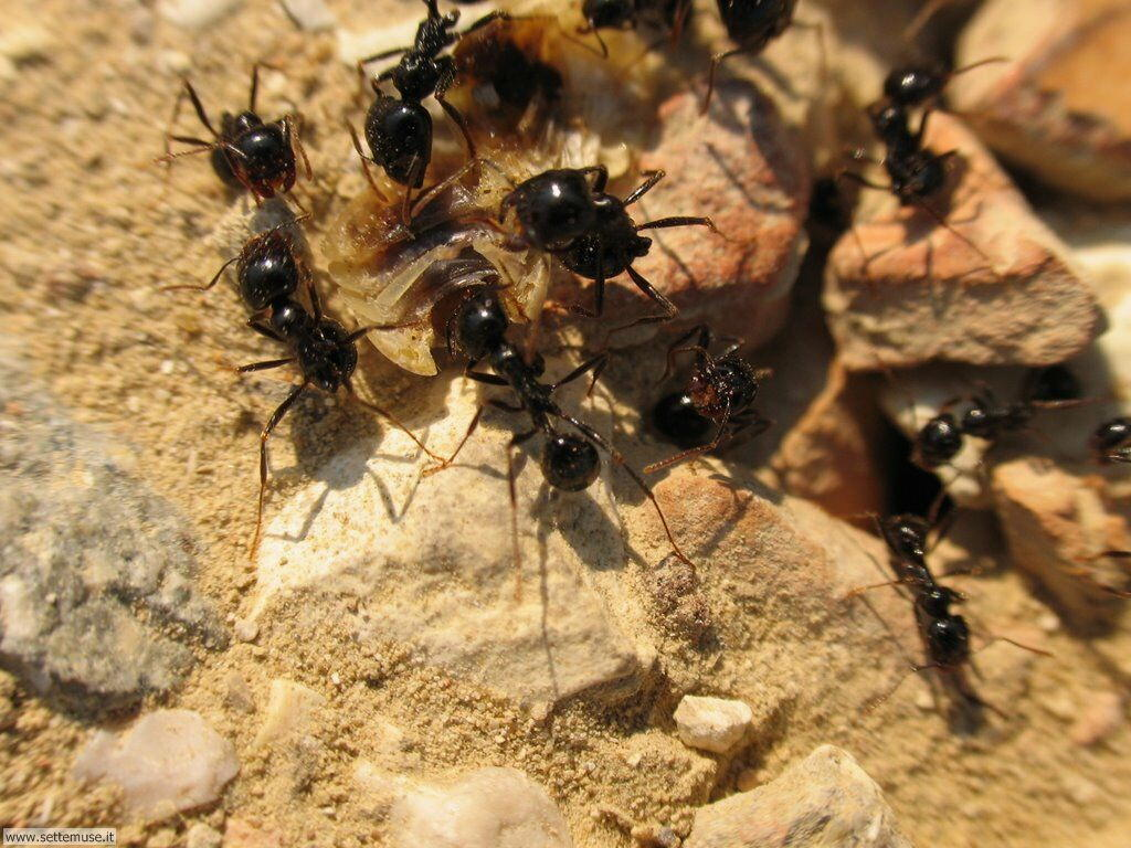 Foto formiche per sfondi pc - Formiche in casa ...