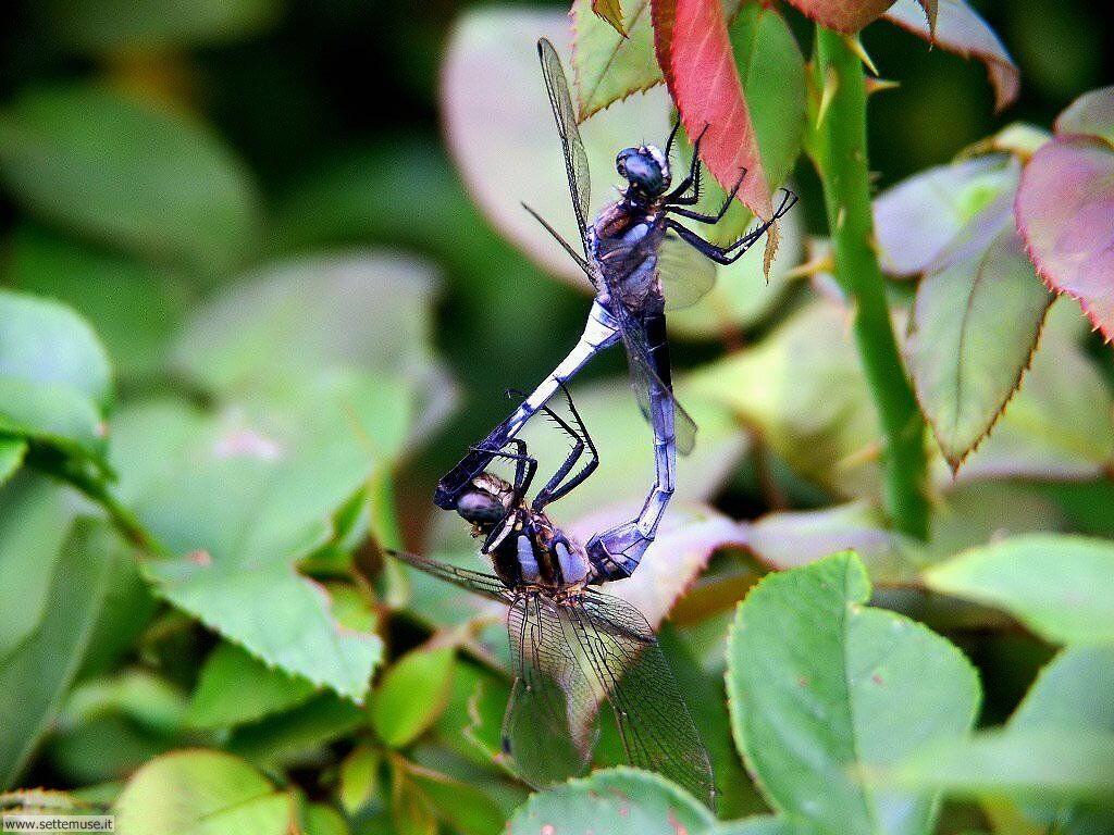foto di libellule per sfondi