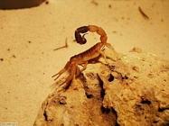 Foto sfondi scorpioni