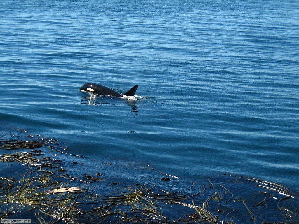 Sfondi balene e orche 007