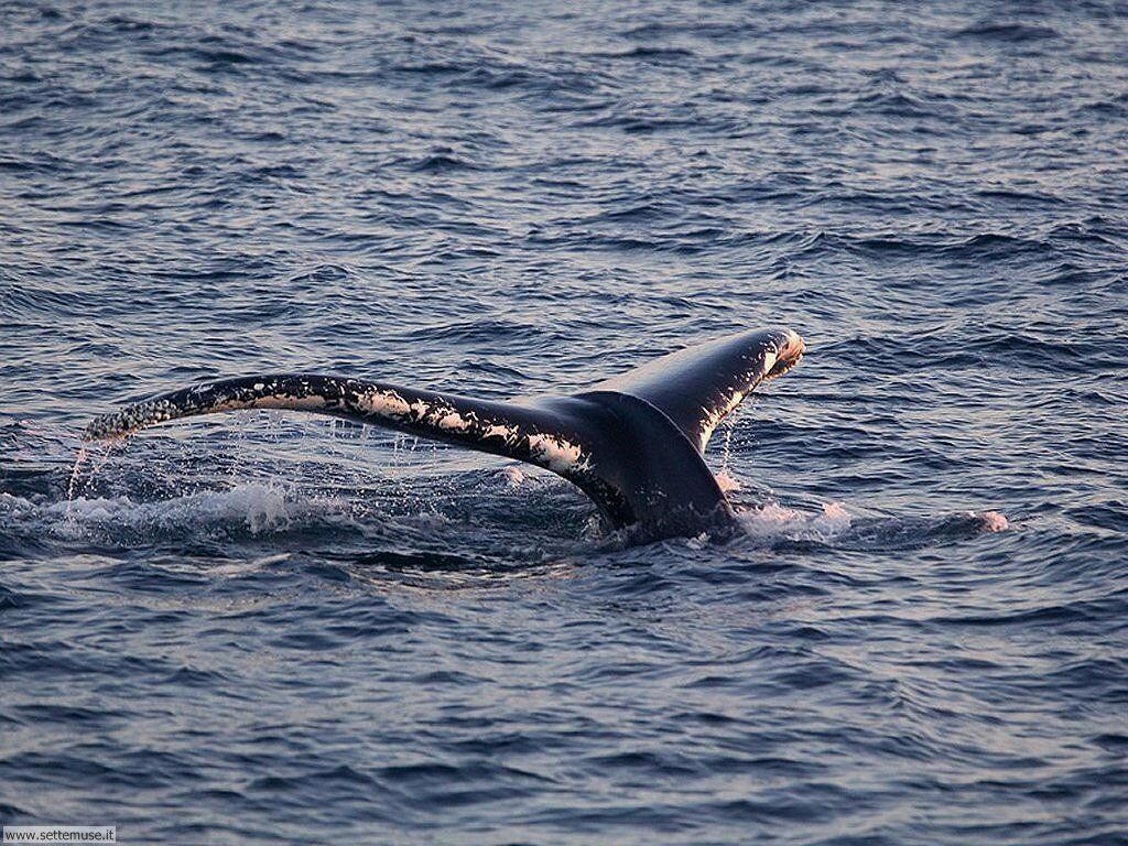 Sfondi balene e orche 008