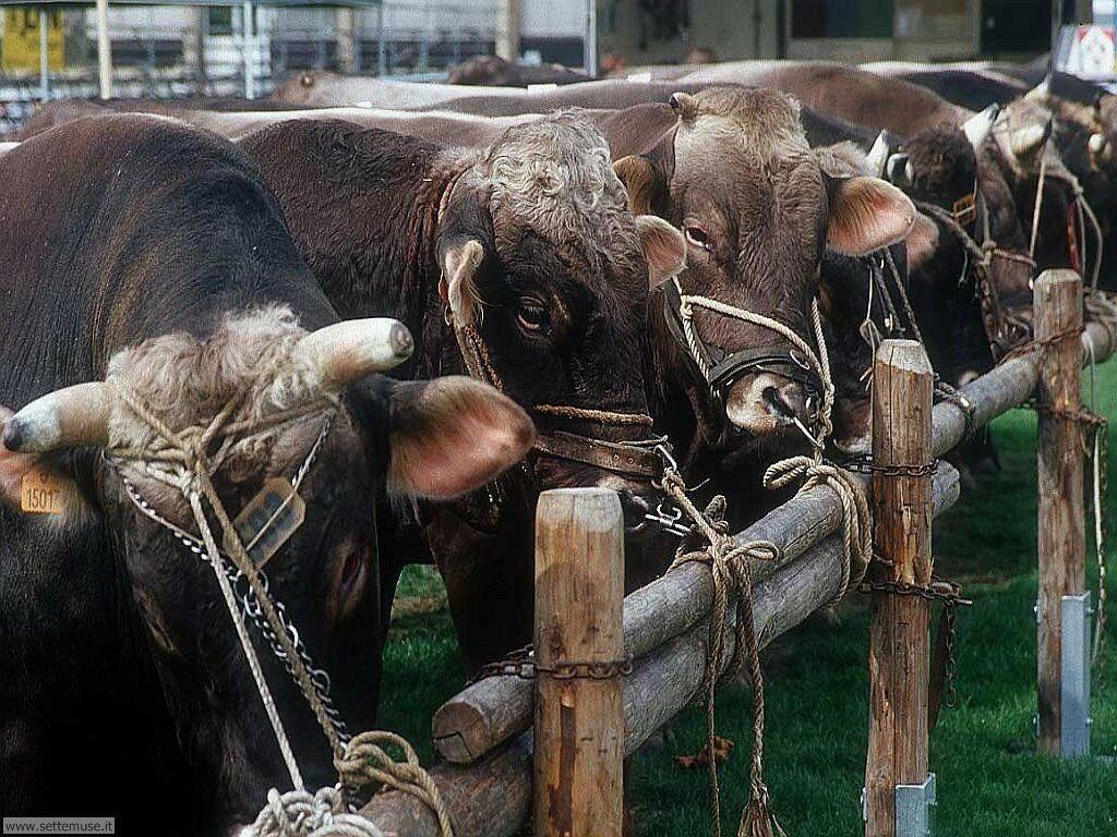 Foto sfondi di mucche 004