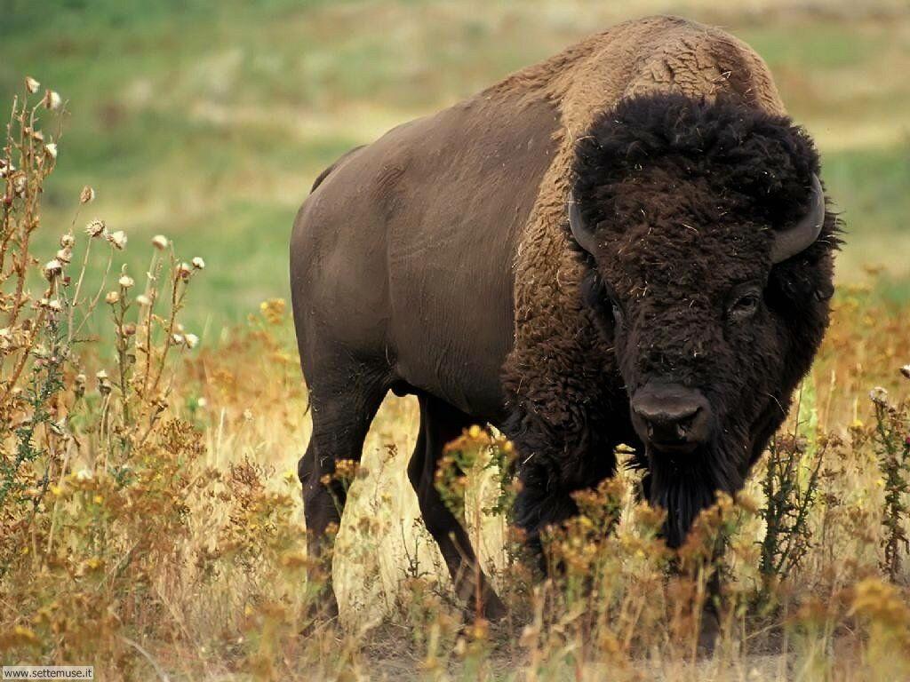 Sfondi Bufali e Bisonti 002