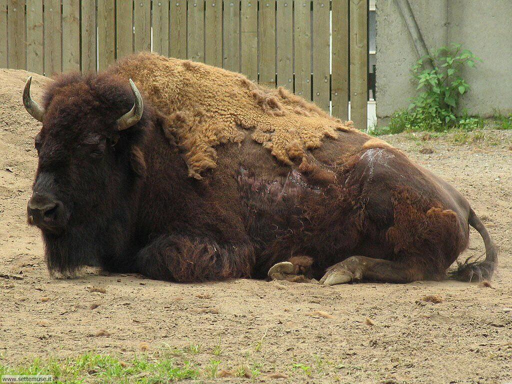 Sfondi Bufali e Bisonti 006