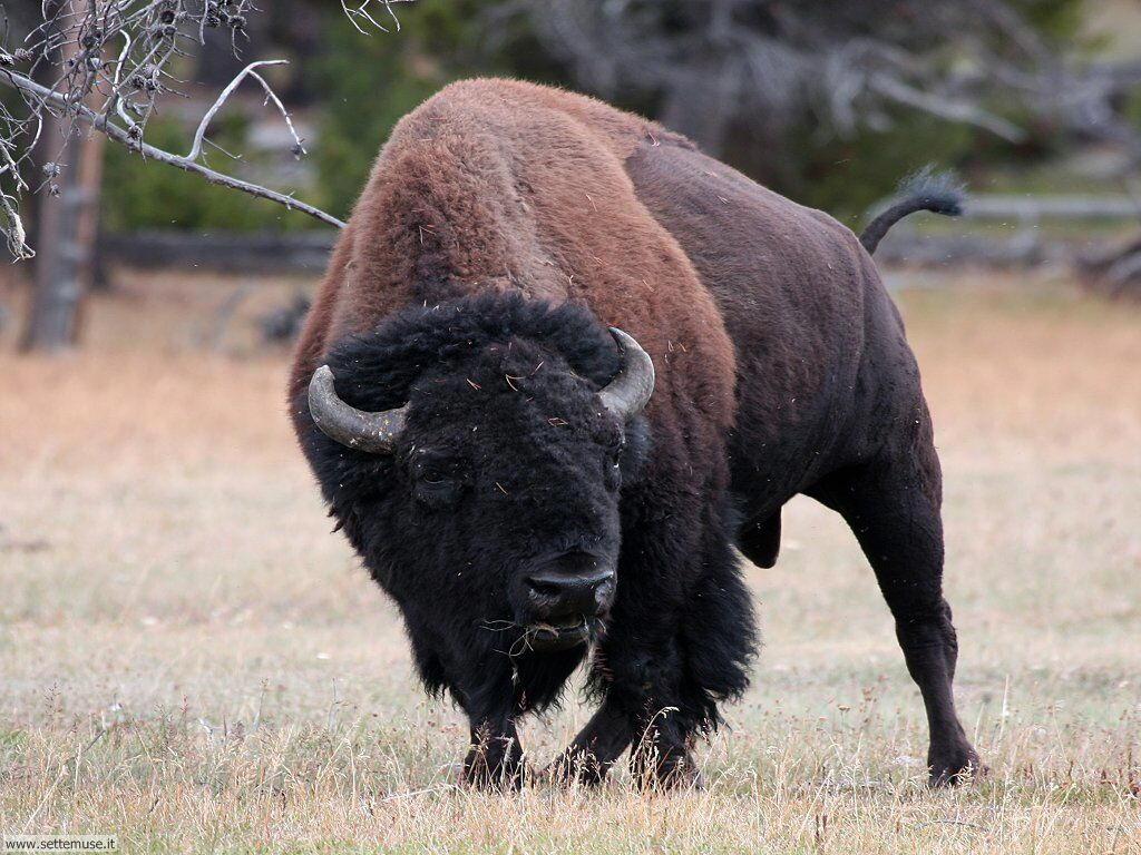 foto di bufali e bisonti per sfondi