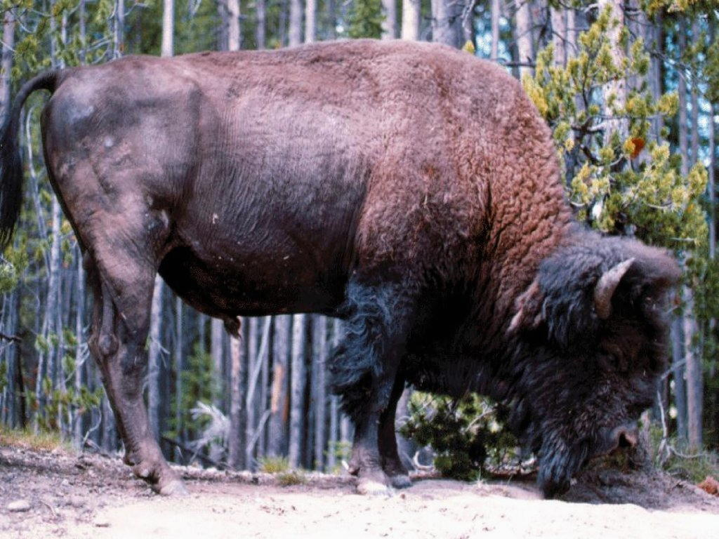 Sfondi Bufali e Bisonti 011