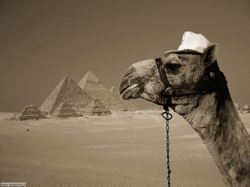 cammelli e dromedari 1