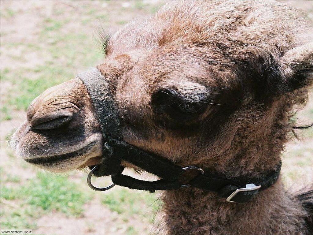 cammelli e dromedari 4