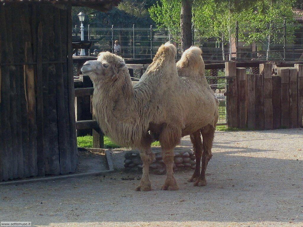 cammelli e dromedari 5