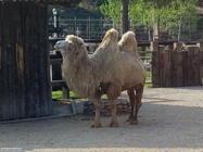 Foto sfondi cammelli e dromedari