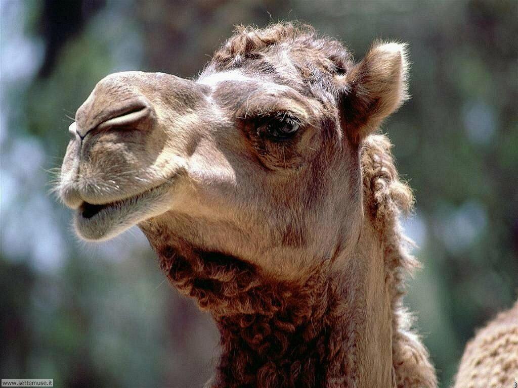 cammelli e dromedari 6