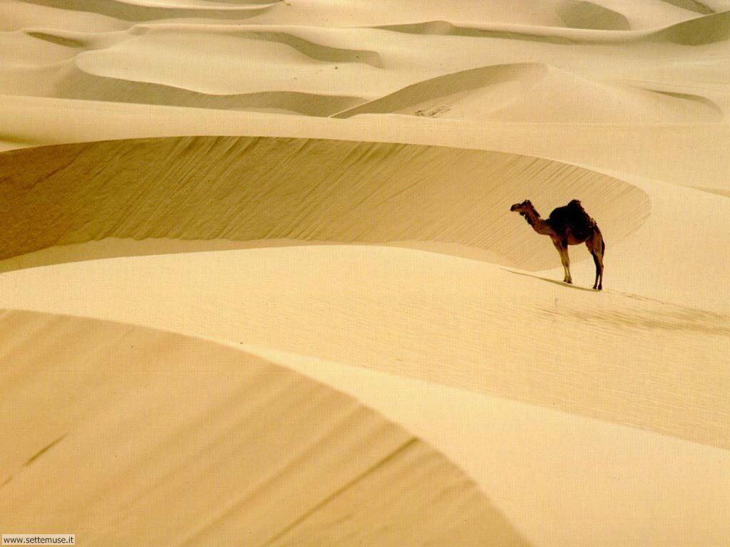 cammelli e dromedari 7