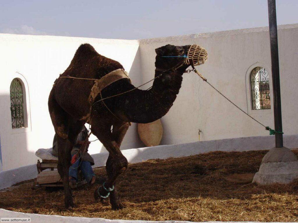 cammelli e dromedari 8