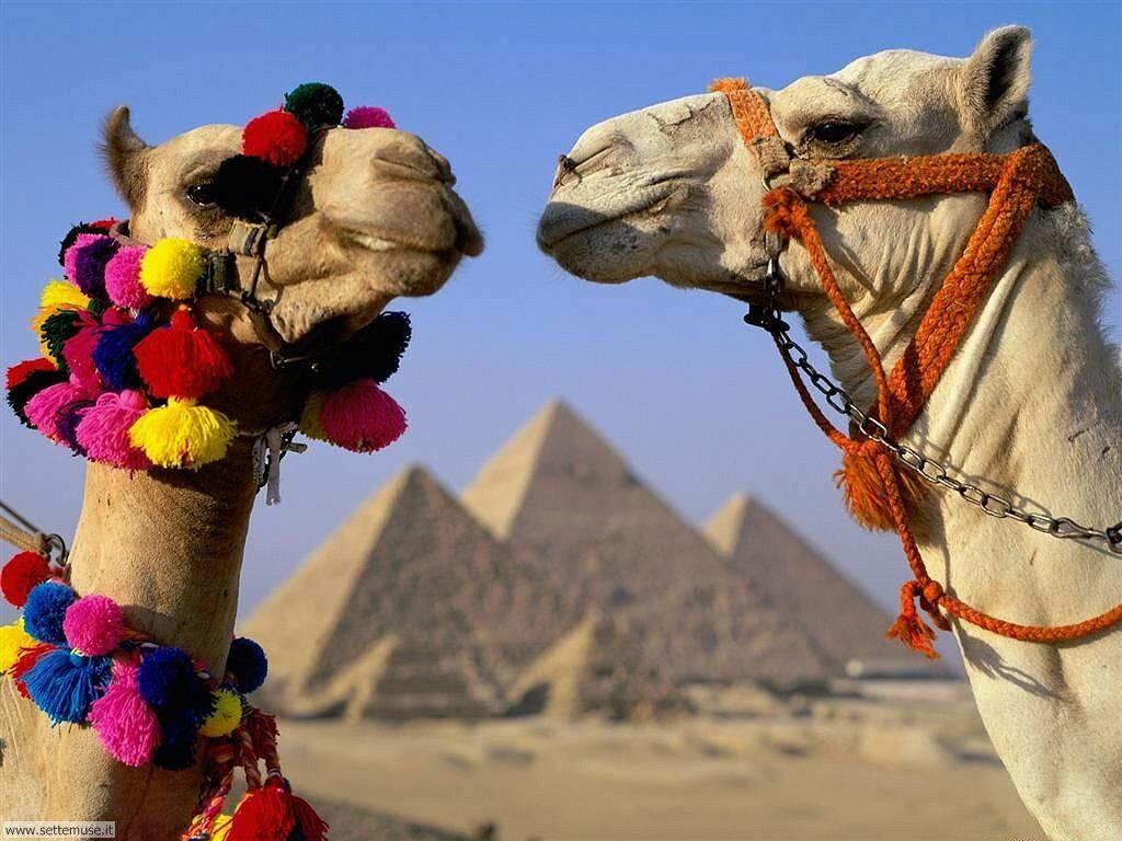 cammelli e dromedari 11
