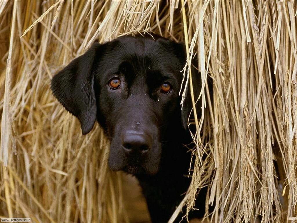Foto sfondi Cani e cuccioli 004